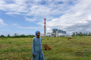 Surayah's cows graze near her house, 100 metres from the plant (Image: Ade Dani)