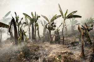 An abandoned banana plantation, burned during the summer season (Image: Visarut Sankham/China Dialogue)