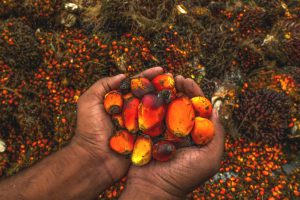 Oil palm fruit (Source: Alamy)