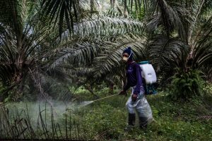 A worker in Malaysia sprays chemical herbicide on a plantation not certified by the Roundtable on Sustainable Palm Oil​ (Source: Alamy)
