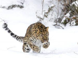 An Amur Leopard mid hunt (Image: Alamy)