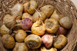 原产秘鲁的根茎植物玛卡被引种到云南之后,秘鲁玛卡贸易如昙花一现般告别了繁荣。图片来源:Alamy