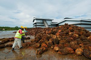 Workers sort oil palm fruit at a processing plant in Bintulu, Malaysian Borneo. (Image: Alamy)