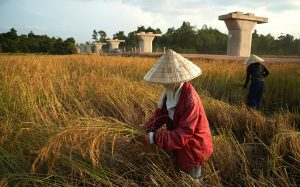 Rice harvesting near Vientiane in Laos. The pillars will support the Nam Khone bridge, the longest on the China–Laos high-speed railway (Image: Surya Chuen / China Dialogue)
