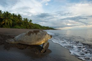 A green sea turtle returns to the ocean after nesting in Tortuguero National Park, Costa Rica (Image: Alamy)