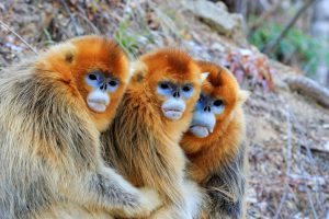 Native to central and southwest China, the golden snub-nosed monkey is endangered (Image: Alamy)