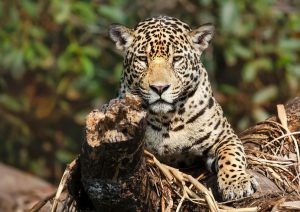 A jaguar on a fallen tree in the Pantanal, Brazil (Image: Alamy)