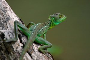 哥斯达黎加托尔图格罗国家公园的双嵴冠蜥。图片来源:Alamy