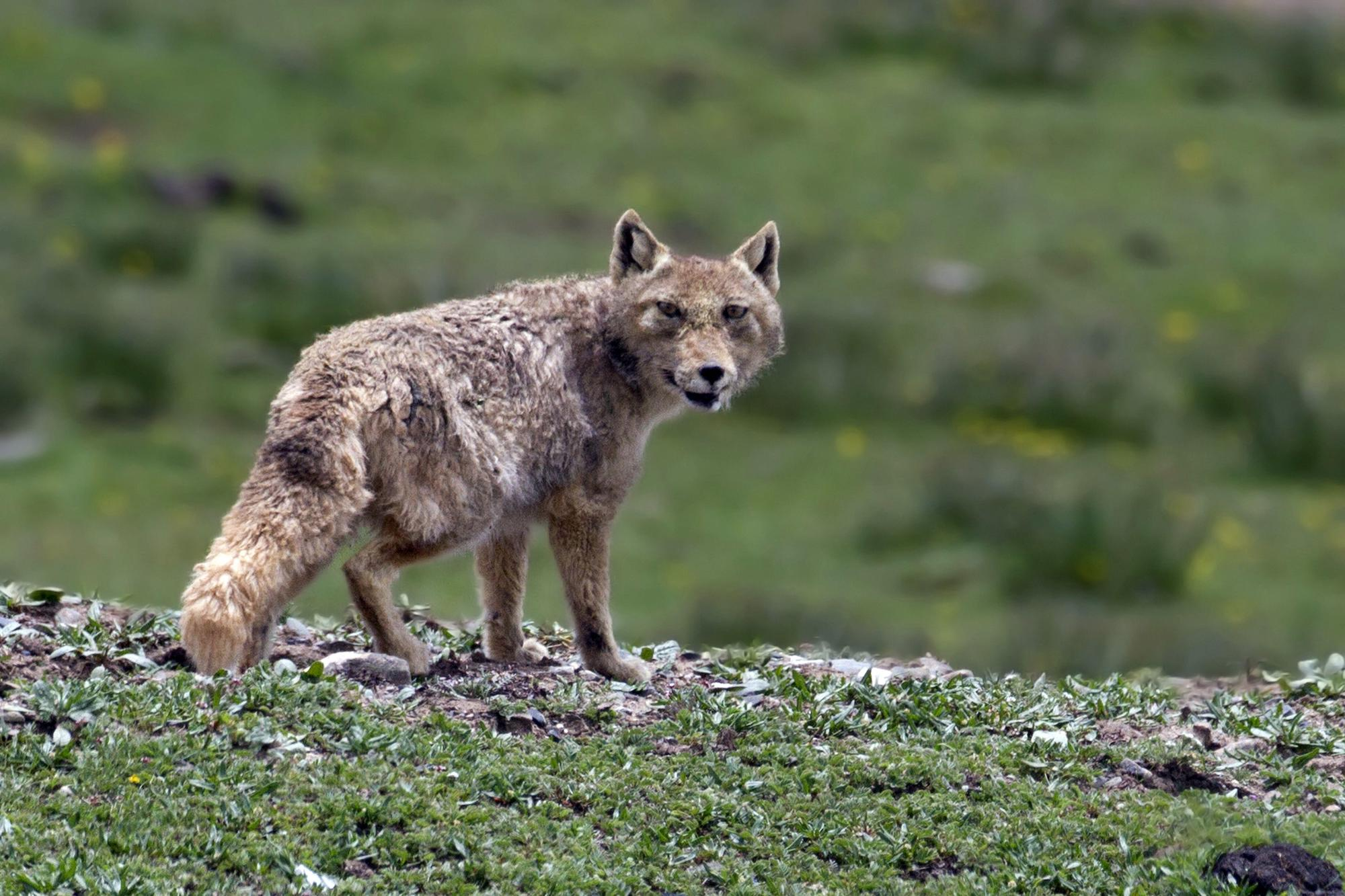 """Much of the habitat of the Tibetan sand fox is protected by China's """"ecological conservation redlines""""(Image: Alamy)"""