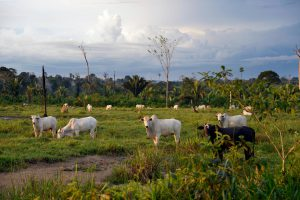 Cattle on land cleared for pasture in the Amazon (Image: Alamy)