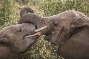 two elephant wrapping their trunks around one another in Kenya