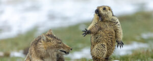 Image ©Bao Yongqing (China) / Wildlife Photographer of the YearGrand title winner 2019It was early spring and very cold on the alpine meadowland of the Qinghai-Tibet plateau in China's Qilian Mountains National Nature Reserve. The marmot was hungry. It was still in its winter coat and not long out of its six-month hibernation deep underground with the rest of its colony of 30 or so. The marmot had ventured out of its burrow to search for plants to graze on when the fox rushed forward, her long canines revealed. Such predator‑prey interaction is part of the natural ecology of the plateau ecosystem, where rodents, in particular the plateau pikas (smaller than marmots) are keystone species.