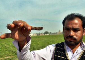 man holds locust in front of field of crops damaged by locust swarm