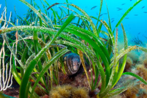 The EU's biodiversity strategy proposes restoring ecosystems like seagrass meadows, home to multifarious wildlife (Image: Alamy)