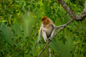 The endangered proboscis monkey, endemic to the island of Borneo and found mainly in coastal mangrove forests, is one of the species threatened by the relocation of Indonesia's capital to East Kalimantan (Image: Reynold Sumayku/Alamy)