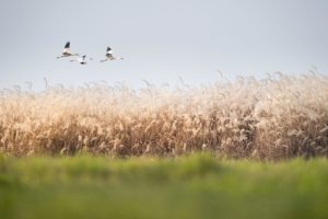 Storks flying above long grass