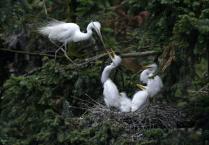 Egrets in Xiangshan Forest Park, Jiangxi province (Image: Alamy)