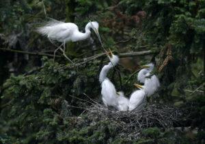 Egrets in Xiangshan Forest Park. Jiangxi