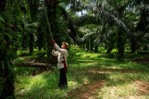 A smallholder at work on an RSPO-certified oil palm plantation in Sabah, Malaysia (Image © RSPO / Jonathan Perugia)