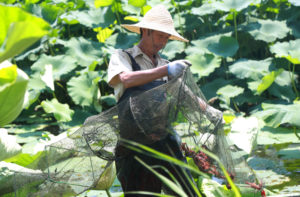 example of ecological aquaculture, a villager collects crayfish from a lotus pond