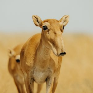 saiga antelope in central asia