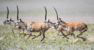 Tibetan antelope rams run at Changtang National Nature Reserve in southwest China's Tibet Autonomous Region
