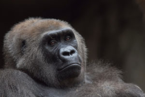 Gorilla portrait photo