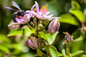 Close up of wild black and shiny violent Carpenter Bee (genus xylocopa) in nectar collecting pollen from a purple flower