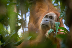 A critically endangered Tapanuli orangutan in Sumatra's Batang Toru forest (Image: Andrew Walmsley / Alamy)