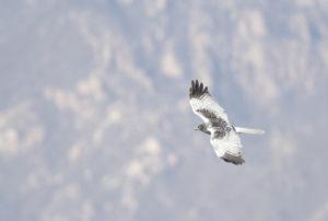 北京西北部的野鸭湖湿地上空一只翱翔的白腹鹞。图片来源:唐瑞