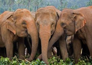 亚洲象。图片来源:Robert Gill / Alamy