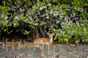A young chital in Bangladesh's Sunderbans, the world's largest mangrove forest (Image: Cindy Hopkins / Alamy)