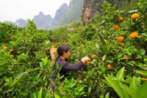 广西桂林的果农。图片来源:Amanda Ahn / Alamy