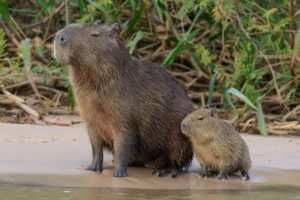 Capybara in the Pantanal region of Brazil (Image: Glenn Bartley / Alamy)