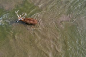 milu deer crossing a river in Dafeng Milu National Nature reserve, Jiangsu, China