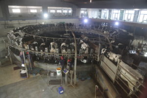 Cows during their morning milking at the Yinxiang Weiye dairy farm in Heze, Shandong province