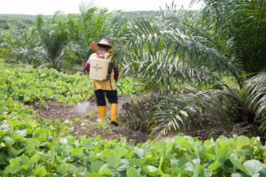 A worker on an RSPO-certified plantation in Malaysia sprays diluted herbicides around a young oil palm to keep weeds down
