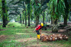 oil palm plantation in Sabah, Malaysia