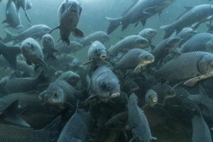 生活在北美洲的水牛鱼(Buffalo fish)。图片来源:© Freshwaters