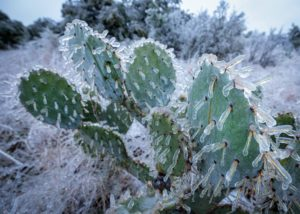 Cactus in Texas ice storm and power outage that devastated Texas in February 2021