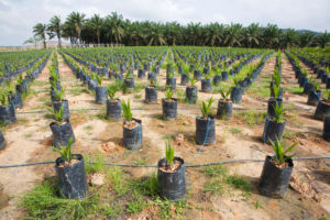 On-site oil palm tree nursery using drip irrigation to water the potted plants