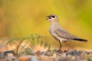 There may be fewer than 1,000 pairs of small pratincoles along Thai stretches of the Mekong (Image: Ayuwat Jearwattanakanok)