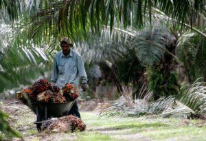 worker pushes a wheelbarrow of palm oil fruits at a plantation near Kuala Lumpur