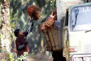 Collecting bunches of oil palm fruit in Malaysia (Image: Bazuki Muhammad / Alamy)