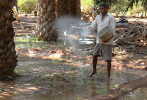 Nageswara Rao spreads fertiliser while irrigating his oil palms in the Indian state of Andhra Pradesh (Image: Kevin Samuel / China Dialogue)