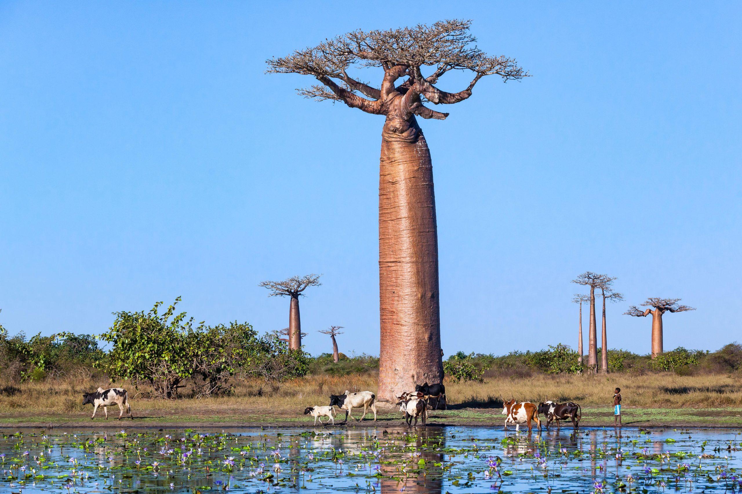A baobab forest in Madagascar