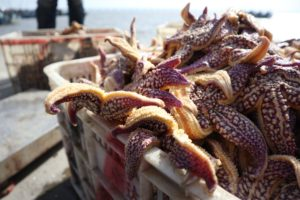 Local fishermen are busy salvaging starfish at Hongdao port in the farming area of Jiaozhou Bay, prepare for shipping to the seafood markets in Qingdao City, east China's Shandong Province, 16 March 2021. Recently, some of the local aquaculture areas star
