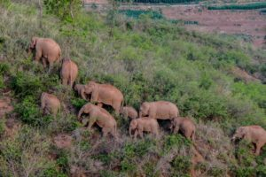 aerial photo of asian elephants marching in Yunnan, China 2021