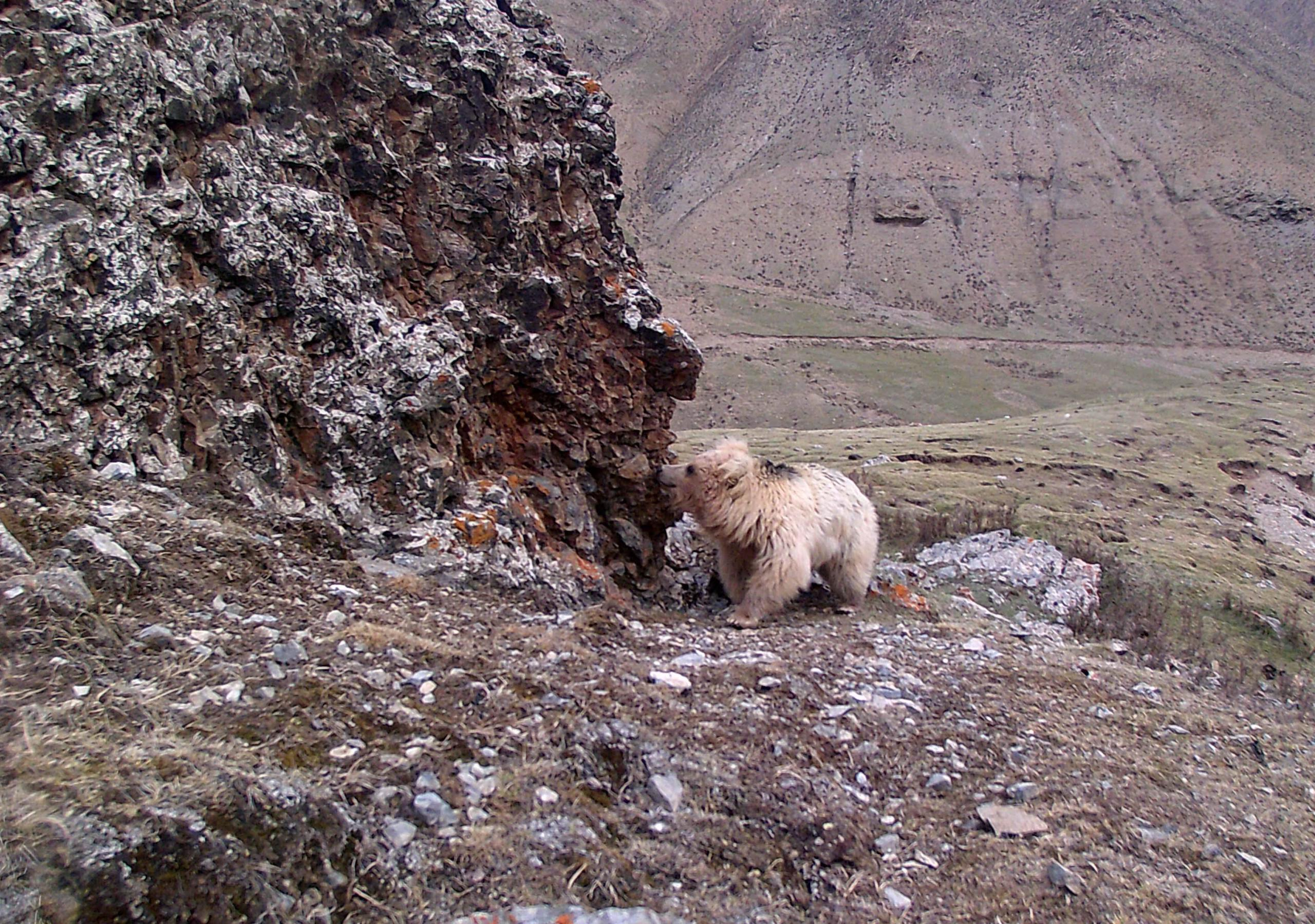 A brown bear is pictured by infrared camera in Qilianshan National Nature Reserve